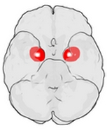 Location of Amygdala on Human Brain